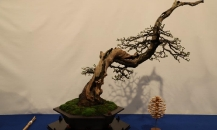 Bonsai Trophy Genk 2020
